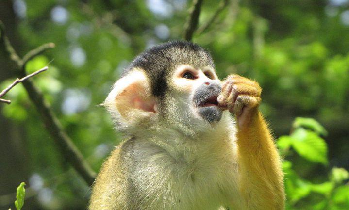 Uien helpen apen tegen winterdepressie