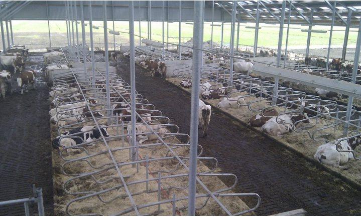 Rabobank adviseert melkveehouderij te minderen