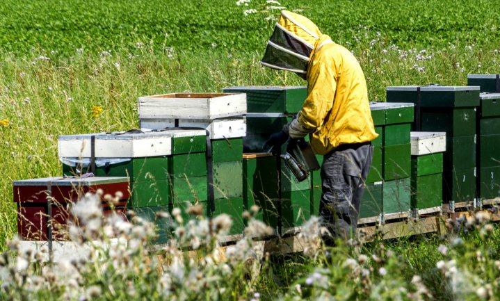 Bijensterfte laag in Nederland, hoog in België