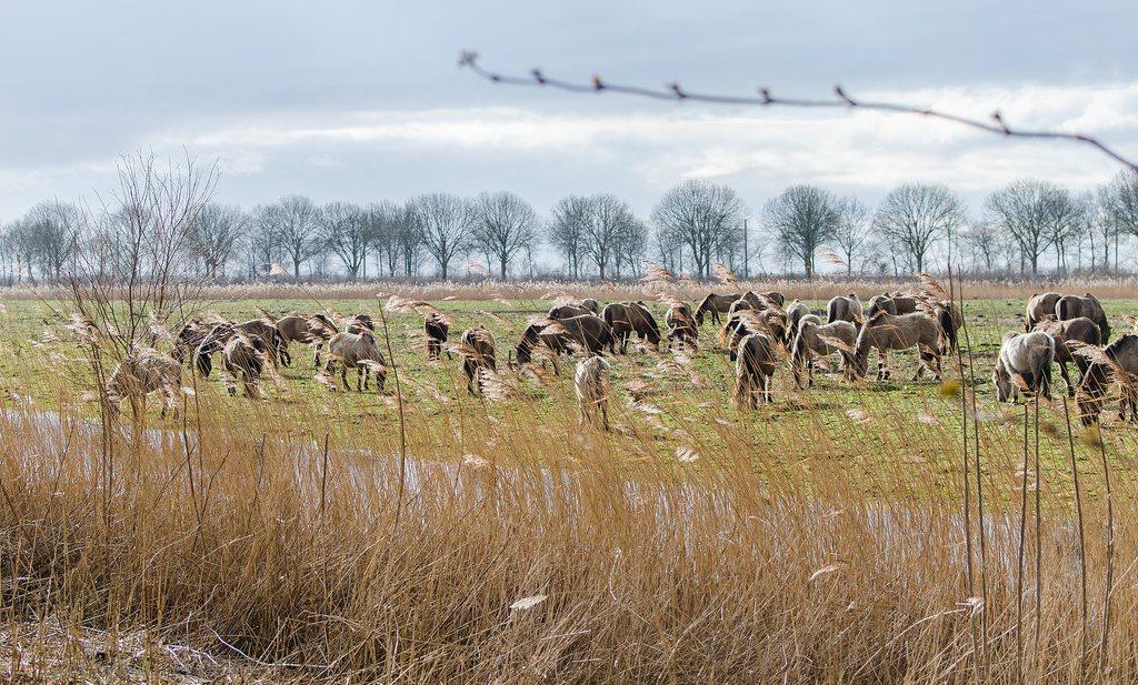 Deze winter bijna 3.000 grote grazers dood in Oostvaardersplassen