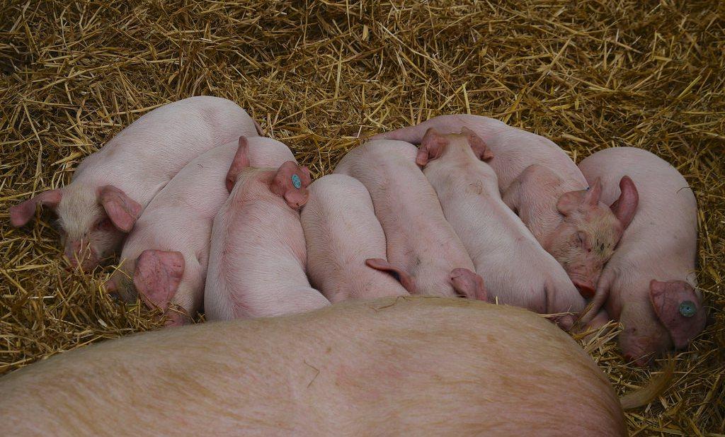 Nederlandse varkensboeren bevestigen overaanbod varkens