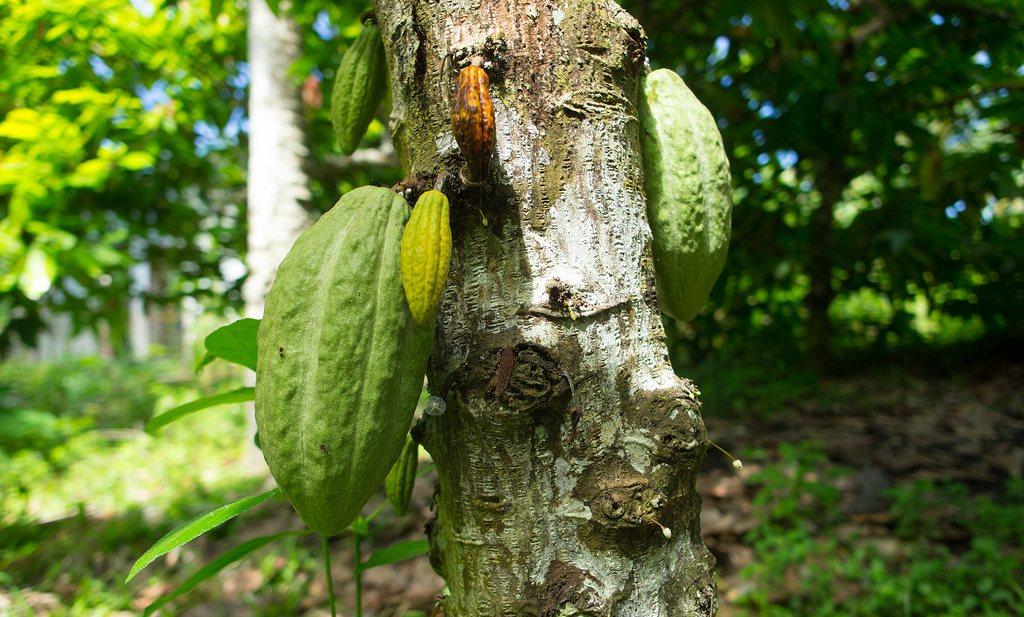 Cacao moet 4 tot 5 maal duurder worden