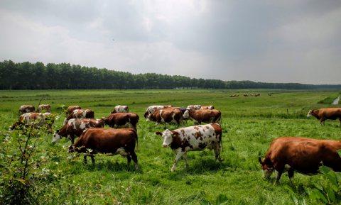 Nee, Nederlandse koeien koelen het klimaat niet af