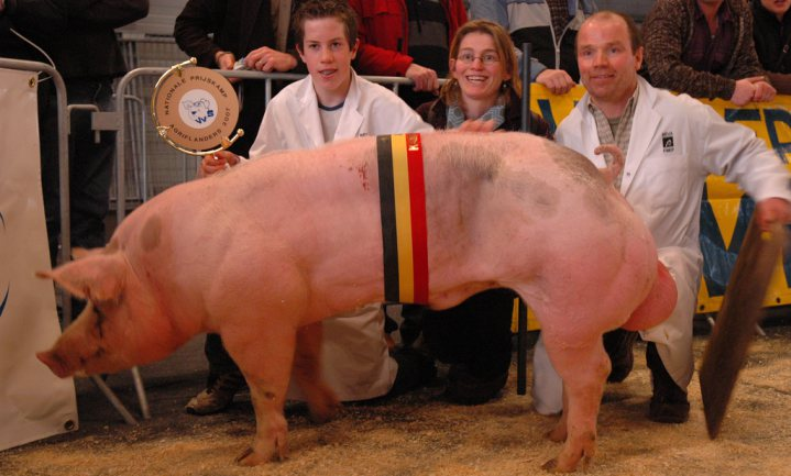 'Slachting onder Vlaamse varkensboeren'