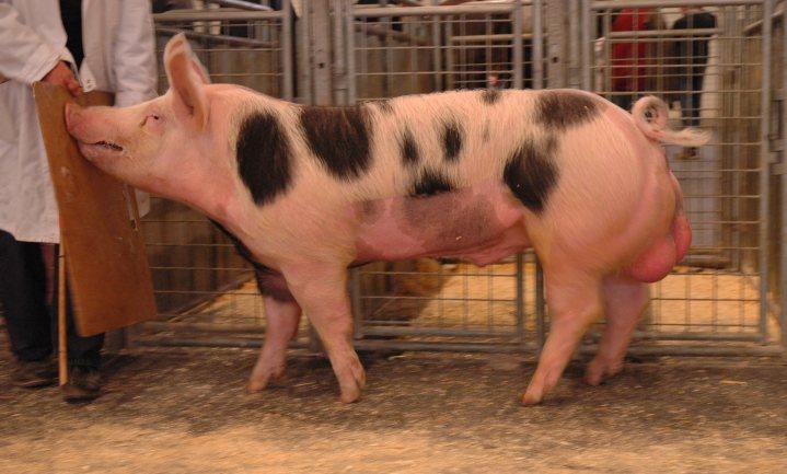 Slachter dwingt varkensboer weer te castreren