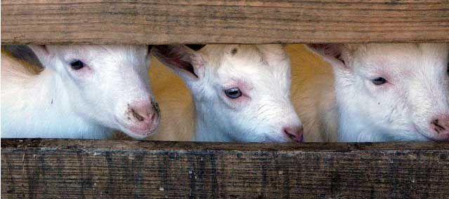 Meer geiten, minder schapen in Nederland