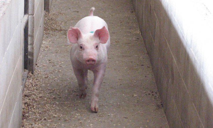 Senator Vos: 'varkens zijn het gas van Brabant'