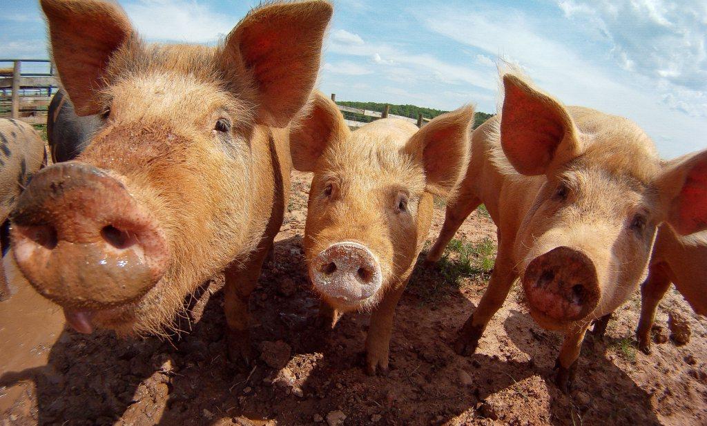 Geen EU-compensatie varkenssector voor Russische boycot