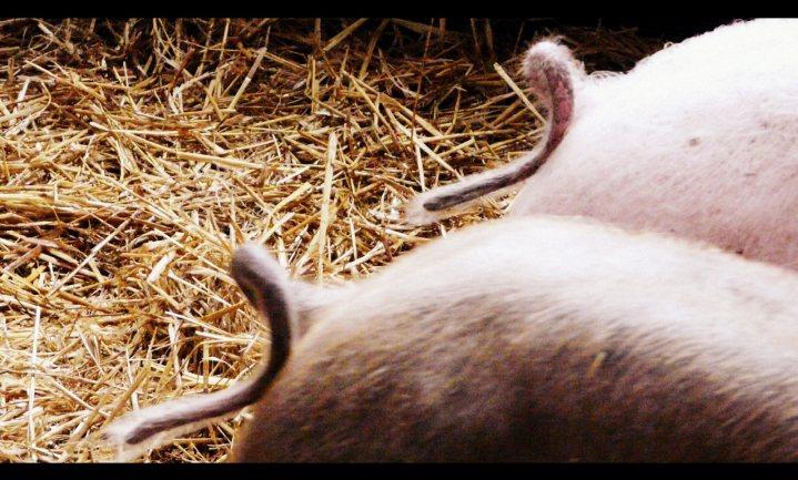 Varkenslachterijen leggen gevolgen Russische boycot bij boer