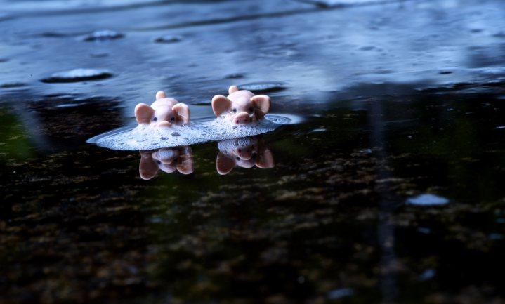 8 oktober Den Bosch: boeren, burgers en beslissers over varkens