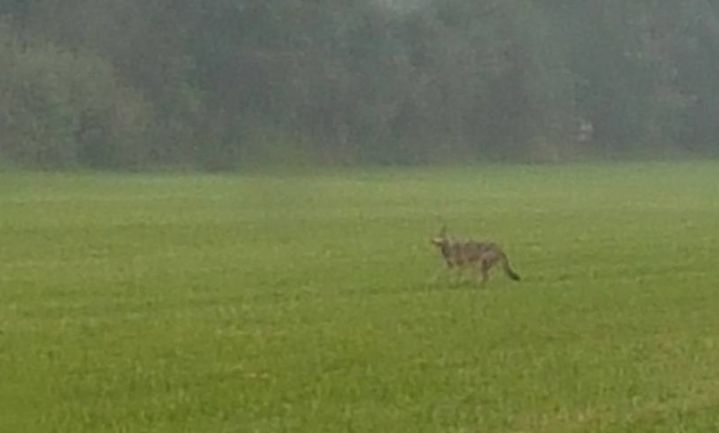 Ook Wallonië spot de wolf