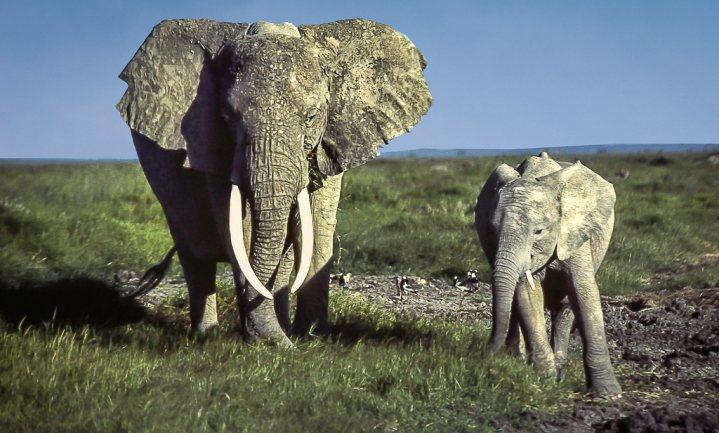 Ook Afrikaanse dieren lijden onder oorlog