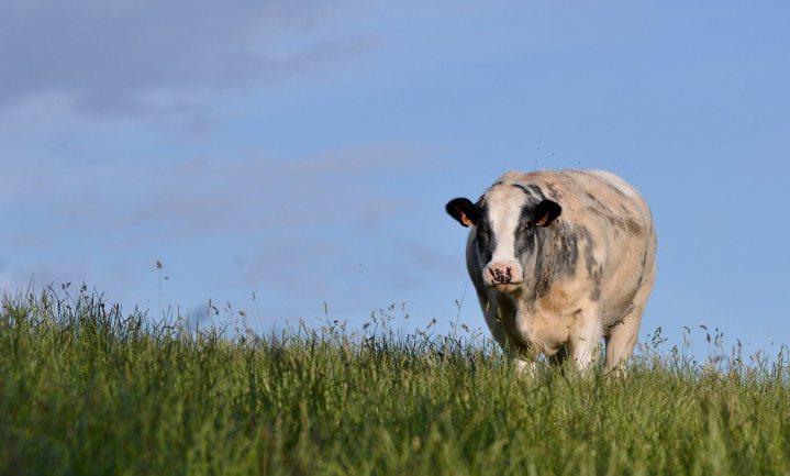 Halve koe verkoopt niet