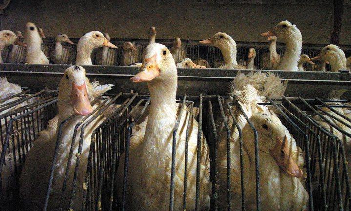 Vogelgriep slaat hard toe in Franse eendenfokkerijen