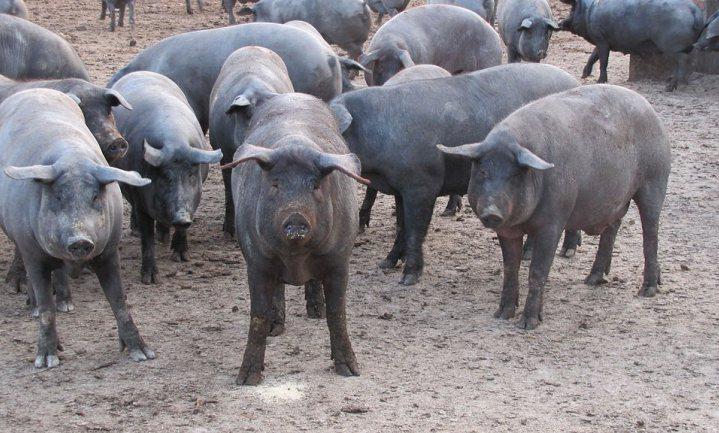 Spanje steunt luxe varken, het Nederlandse kalf moet maar sterk zijn, vrouw onderweg kiest AH
