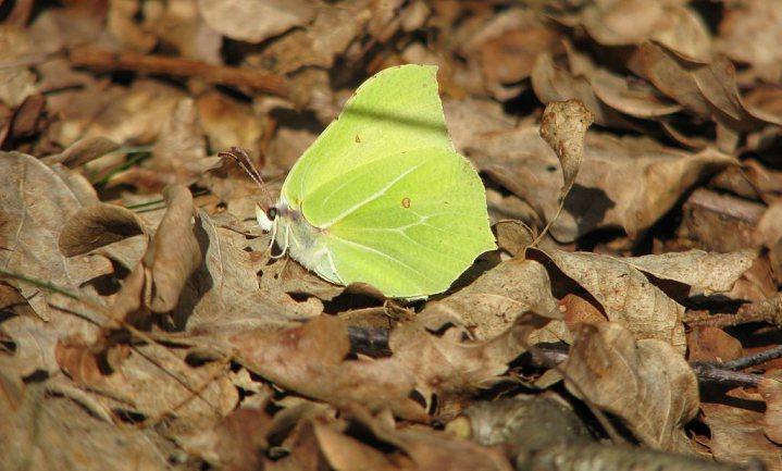 Vroeg voorjaar wekt vlinders uit winterslaap