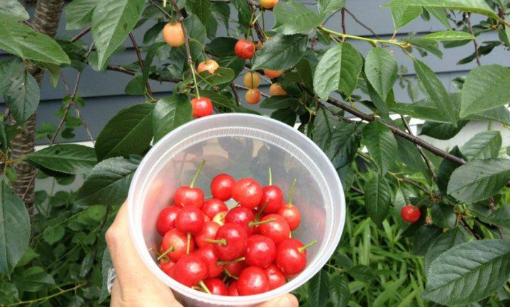 Weinig giftige metalen en veel voedingsstoffen in Amerikaans stadsfruit