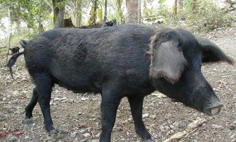 Niet alle varkens zijn gelijk in de Dominicaanse republiek