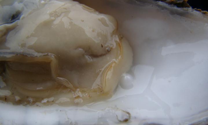 Ga wilde oesters rapen nu het nog kan