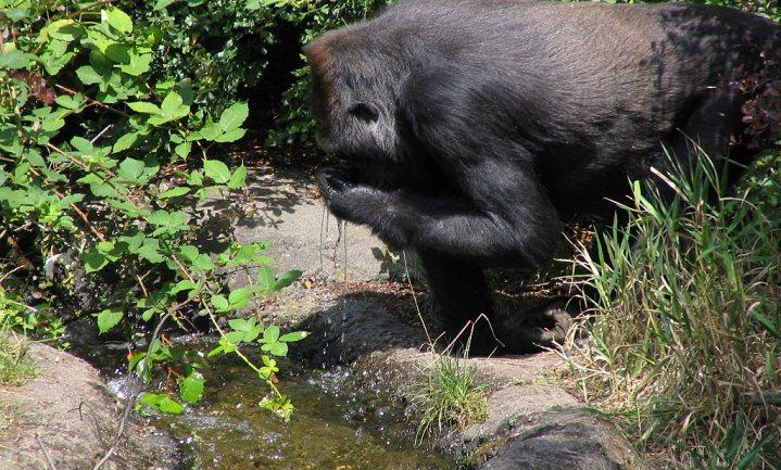 Mensen hebben veel minder water nodig dan apen