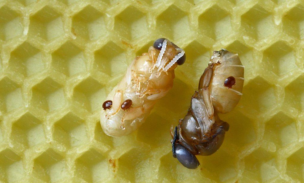 Belgische imker kweekt varroamijt-resistente honingbij