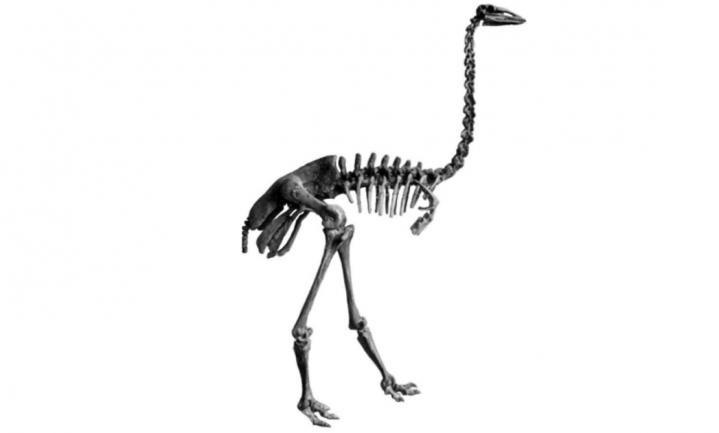 Olifantsvogel verdween door menselijk optreden