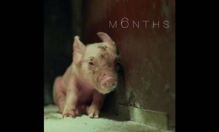 Winnende film over een varkensleven online te bekijken