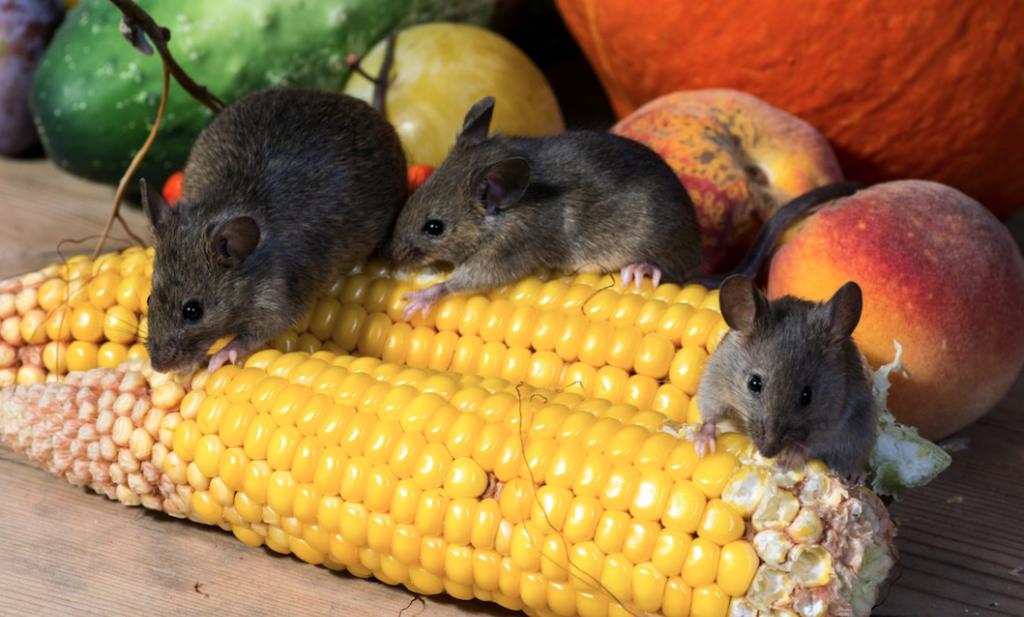 Wetenschappers maken vetvrije muizen