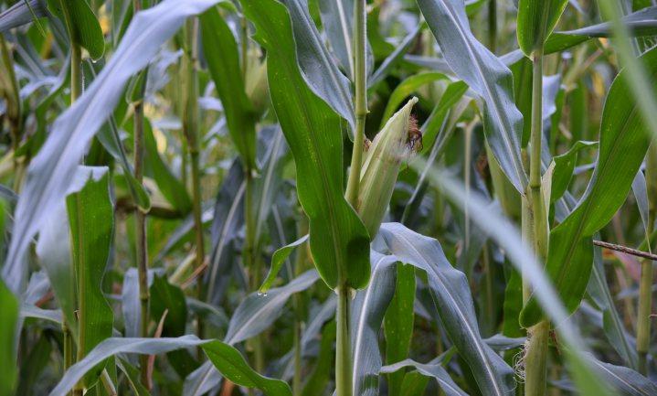 Frans verbod op GMO-maïs opnieuw verboden