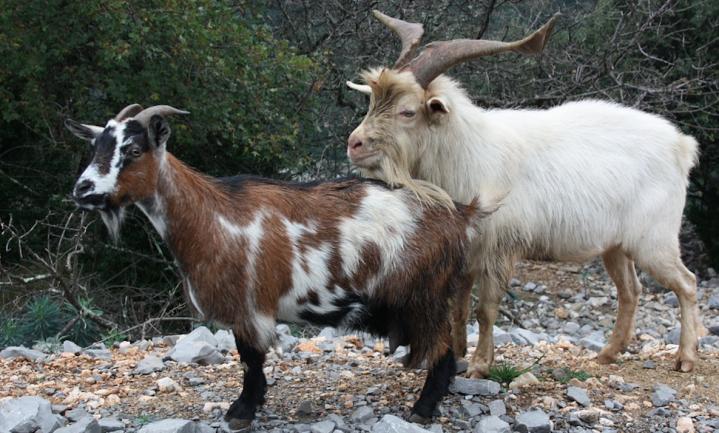 Oude mensen- en geitenpies vertelt hoe boeren hun dieren hielden