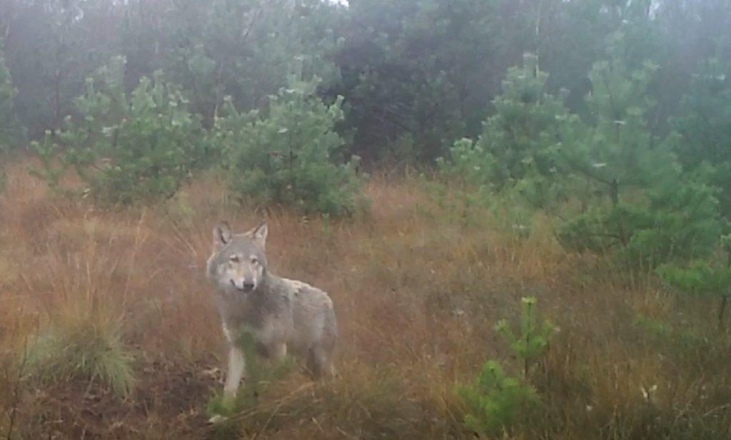 Schreijer wil schieten; de wolf moet weer weg