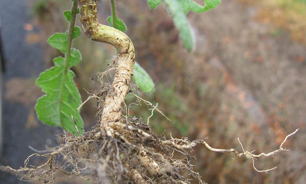 Hebben wetenschappers met 'hairy roots' sleutel gevonden om planten klimaatrobuuster te maken?