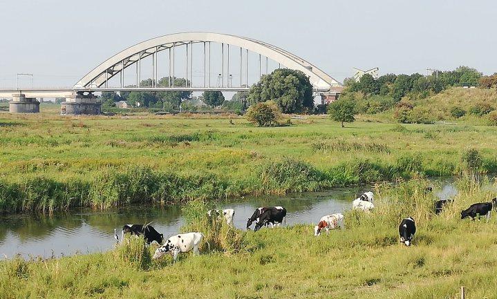 Giftige natuurkoeien aan de rivier