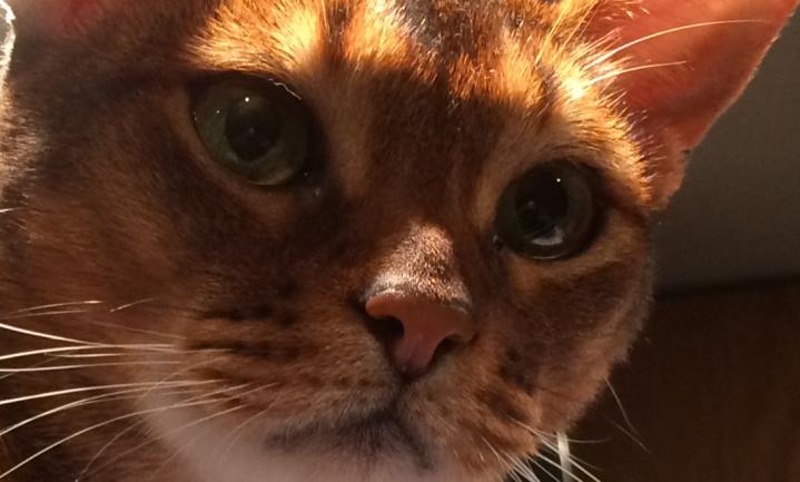 Kat aan de lijn