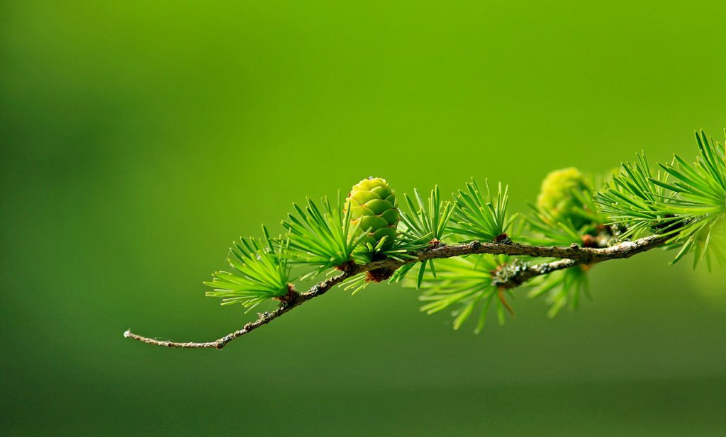 Smeltende permafrost veroorzaakt groeispurt bij oude bomen