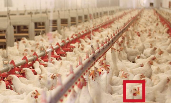 Oekraïense kippenvleesproducent MHP opent vestiging in Nederland