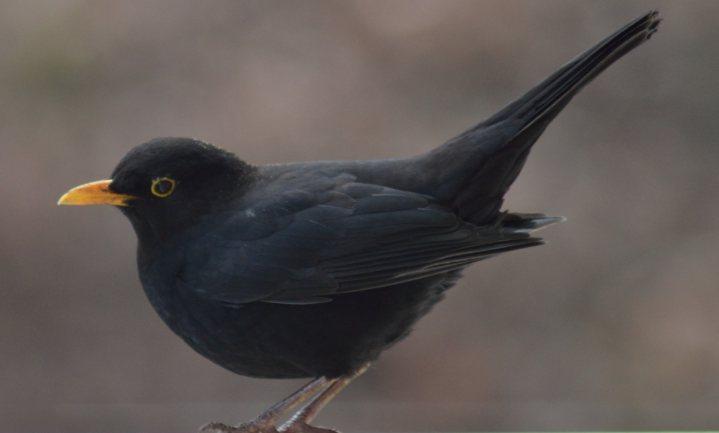 50.000 Nederlanders achter de ramen voor de Vogeltelling