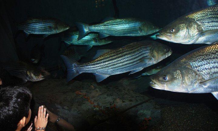 Culinair ontdekt: Striped bass