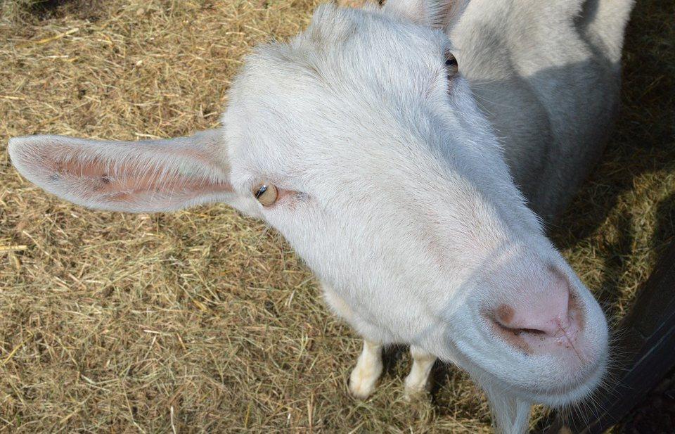 Aantal geiten in Nederland sinds 2000 verdrievoudigd