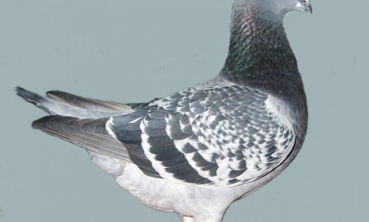 De eerste postduivenbeurs zonder duiven