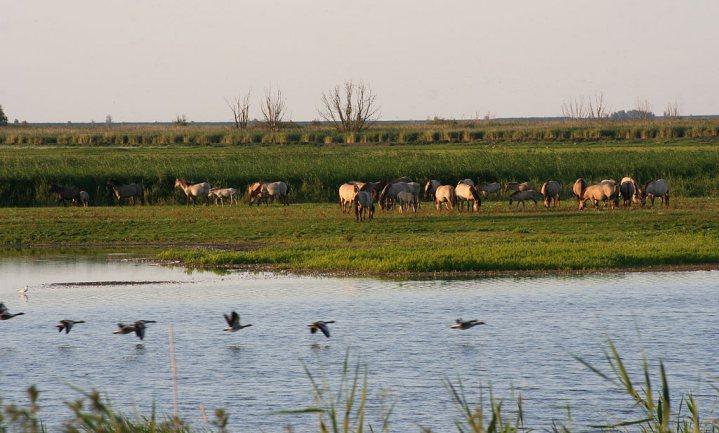 Grote grazers verjoegen 22 zeldzame broedvogelsoorten uit Oostvaardersplassen