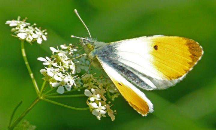 Temperatuurschommelingen bedreigen vlinderstand