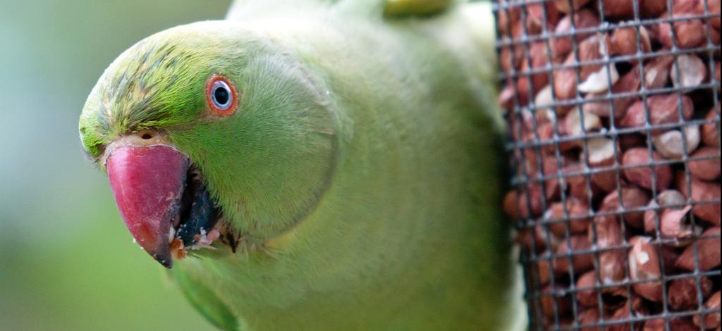 Papegaaientongetjes uit de perengaard