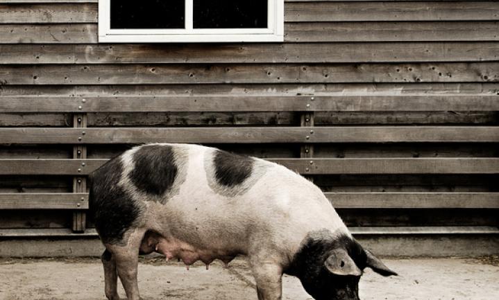 Het 'varken van morgen' komt later