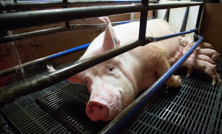 400 varkens verhongerd op Gelders varkensbedrijf