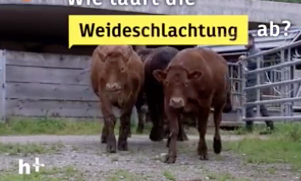 Zwitserse boer schiet vleeskoe stressvrij in de wei