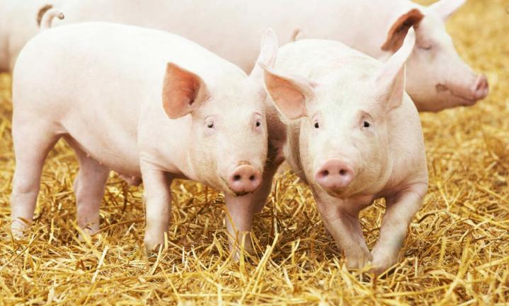 Vier scenario's voor Nederlandse varkens