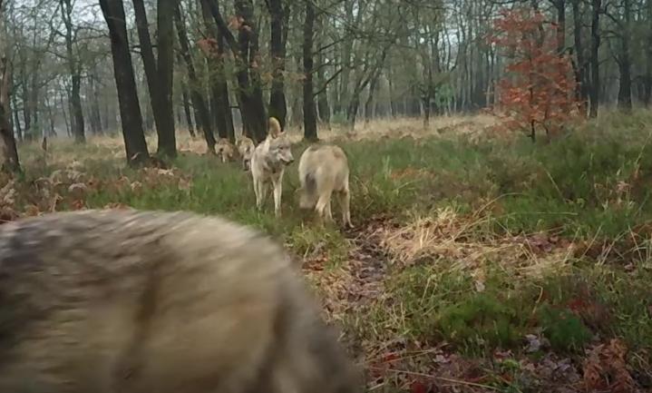 Veluwse wolvenfamilie uitgebreid op camera