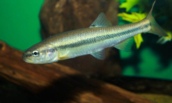 Verstedelijking maakt sommige vissen slanker, zoals verwacht, maar andere juist dikker