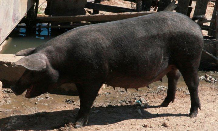 Italiaanse topvleeswaren worden gemaakt van industrievarkens